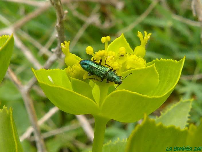psilotrix cyaneus